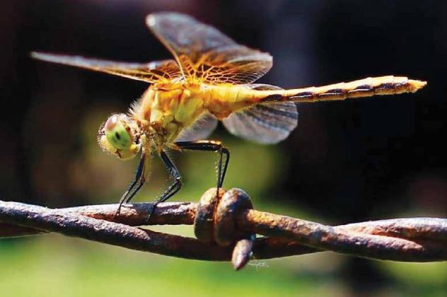 Jennifer Ediger of Hampton spent extra time in a field near Burwell capturing the best possible image of a dragonfly hovering over a barbedwire fence. Those efforts earned her first place in this year's Aurora News-Register amateur photo contest. Photo by Jennifer Ediger