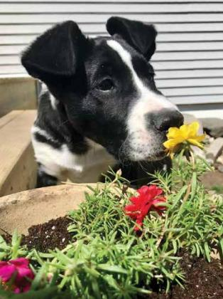 Shari Penner's image of the family dog sniffing flowers in the garden was a first place winner in the animal category. Photo by Shari Penner